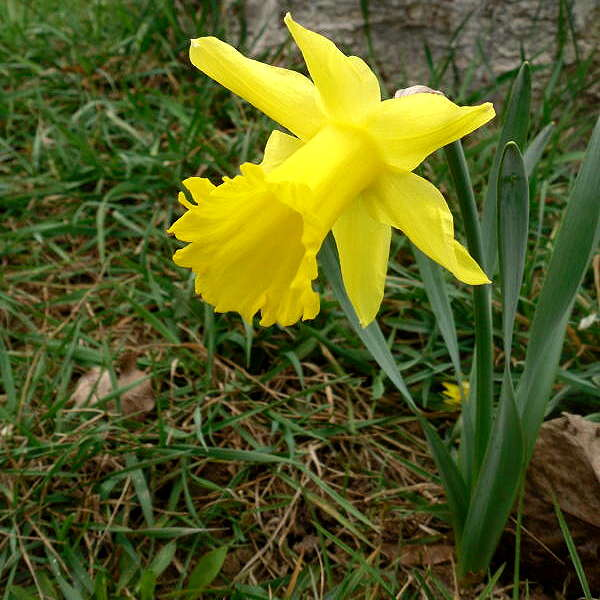 Narzisse am Frühlingsanfang