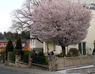 Kirschbaum-Stadtbild